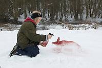 Kinder bauen einen Fuchs, Rotfuchs aus Schnee, Schneefigur wird mit Erdpigmenten eingefärbt (Frank Hecker)