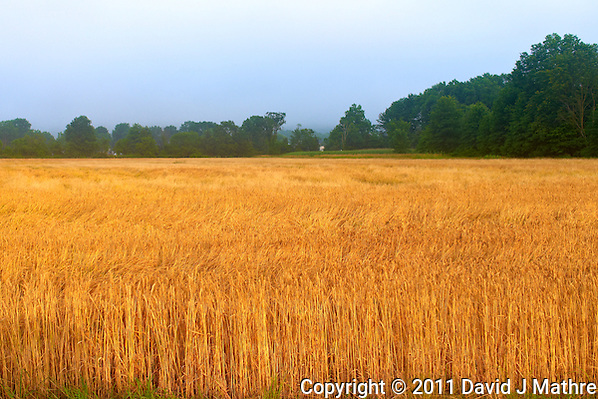 Wheat Field at Morning in New Jersey. Image taken with a Leica X1 (ISO 100, 24 mm, f/4, 1/125 sec). Raw image processed with Capture One Pro, Focus Magic, and Photoshop CS5. (David J Mathre)