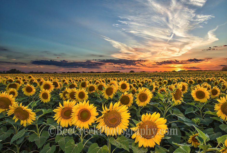 We went back several times to get the perfect sunset on these sunflowers and added a little flash to keep enough light on the flowers as the sun went down. (Tod Grubbs & Cynthia Hestand)