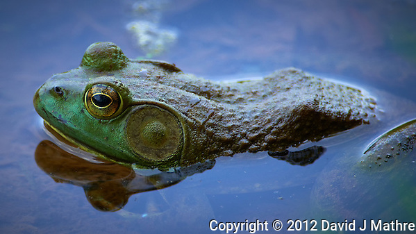 Kermit the Bull Frog in a Pond in the Sourland Mountain Preserve in New Jersey. Image taken with a Nikon D800 and 300 mm f/2.8G VR lens + TC-E III 20 Teleconverter (ISO 360, 600 mm, f/5.6, 1/320 sec). (David J Mathre)