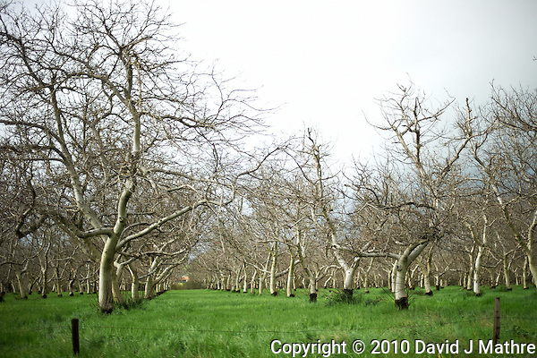 Almond Orchard in California Central Valley. Drive By Photography. Image taken with a Nikon D3s and 50 mm f/1.4G lens (ISO 220, 50 mm, f/1.4, 1/1600 sec). (David J Mathre)
