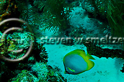 Spotfin Butterflyfish - Chaetodon ocellatus, Grand Cayman (StevenWSmeltzer.com)