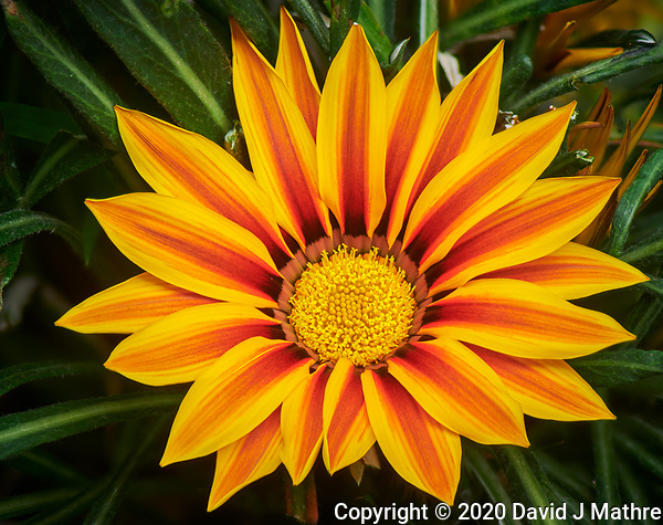 Orange Gazania. Focus-stacked composite of 12 images taken with a Nikon D850 camera and 105 mm f/2.8 macro lens and 2.0x teleconverter (ISO 100, 210 mm, f/6, 1/30 sec). Raw images processed with Capture One Pro and Helicon Focus. (DAVID J MATHRE)