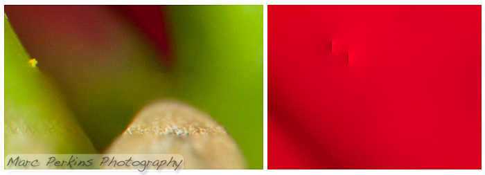 "Close-in (100% crop) views of two blending errors Photoshop CS5 made while blending my eight-image Poinsettia female flower series.  On the left Photoshop has selected a line of the plant at the correct focus, but then used incorrect focal planes for the remainder of the stem.  On the right photoshop has added what I call ""points"" or ""bars"" of light; blending errors (often near the edge of an image) where Photoshop inexplicably adds in a bright streak or point. (Marc C. Perkins)"