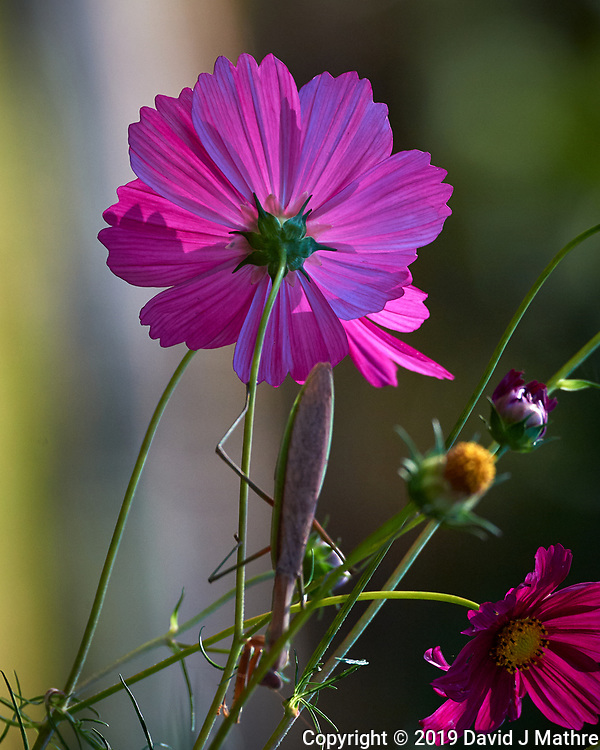 Backlit Cosmos Flower (with a Praying Mantis). Image taken with a Nikon D5 camera and 80-400 mm VRII lens. (DAVID J MATHRE)