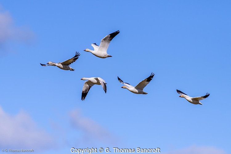 Five snow geese fly together across Hayton Reserve in Skagit County. (G. Thomas Bancroft)