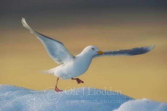 Glaucous Gull (Larus hyperboreus) in Svalbard (Ole Jørgen Liodden)