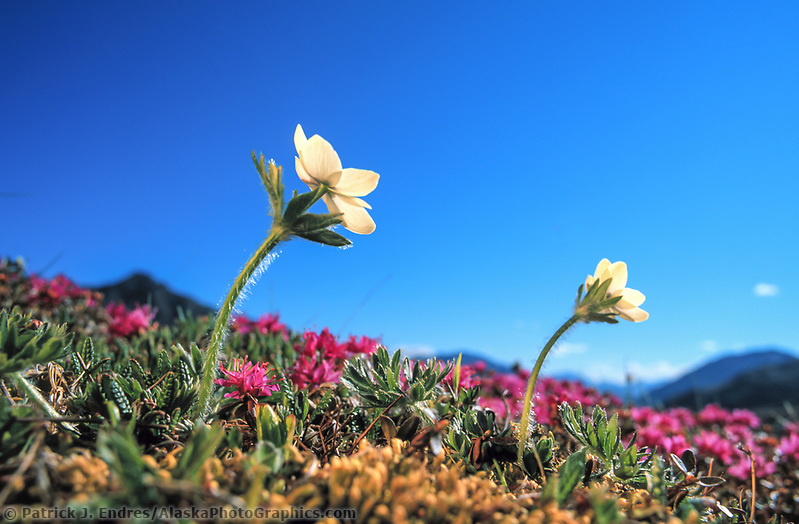 Wildflower meadow, Narcissus-flowered anemone and Lapland rosebay, Denali National Park, Alaska (Patrick J. Endres / AlaskaPhotoGraphics.com)