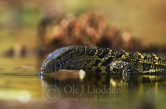 Monitor Lizard in Akagera. Rwanda (Ole Jørgen Liodden)