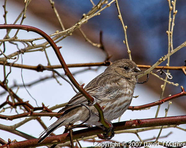 Crossed-bill/beak finch or female house finch (?) on a vine. Backyard winter nature in New Jersey. Image taken with a Nikon D2xs camera and 80-400 mm VR lens (ISO 100, 400 mm, f/11, 1/500 sec). (David J Mathre)