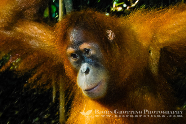 Indonesia, Sumatra. Bukit Lawang. Gunung Leuser National Park. The orangutan sanctuary of Bukit Lawang is located inside the park. A young orangutan. (Photo Bjorn Grotting)