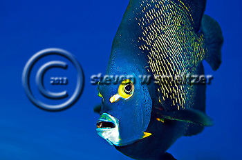 French Angelfish Close Up, Pomacanthus paru, Grand Cayman (Steven Smeltzer)