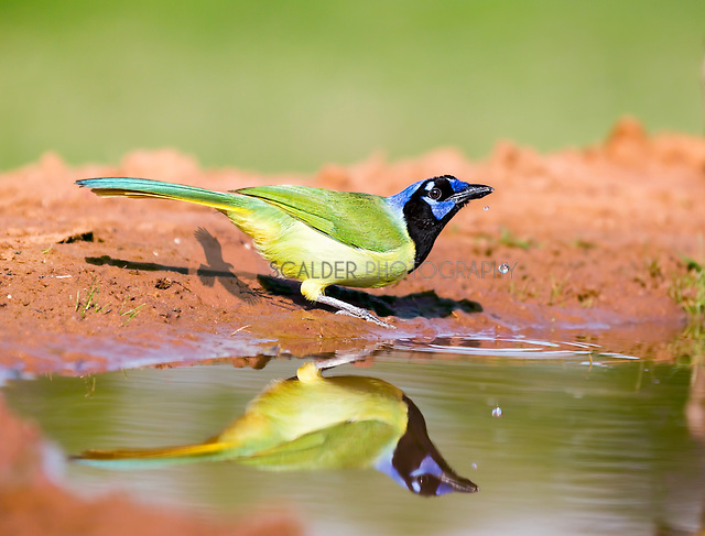 Green Jay drinking water with water droplets mid air from beak (sandra calderbank)