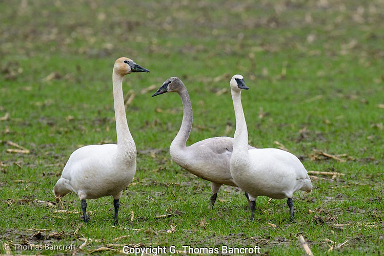 Tundra Swan families stay together throughout the winter. (G. Thomas Bancroft)