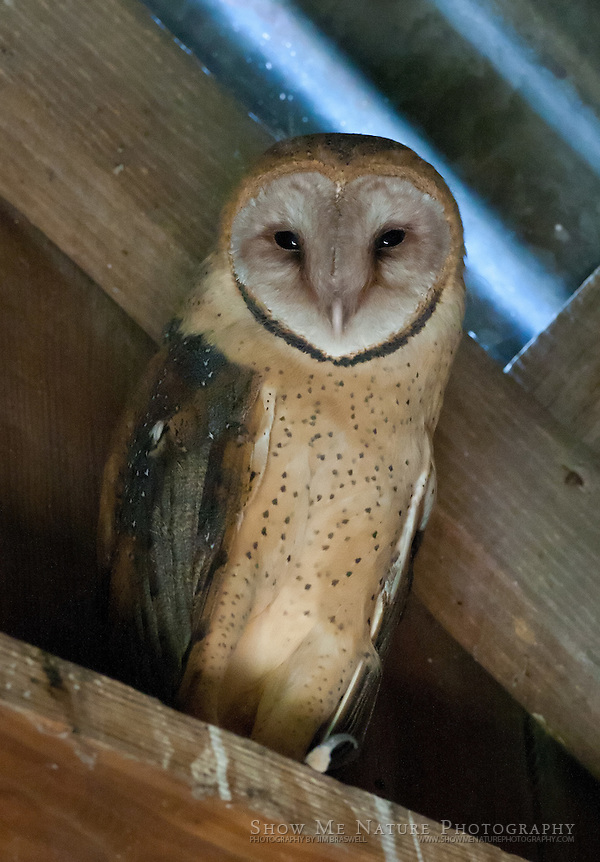 An adult Barn Owl sitting in barn (James A. Braswell)