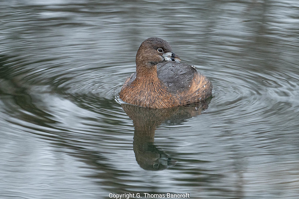 The bill on this Pied-billed Grebe still had the dark ring around it that is typical of the breeding season. This one was in a small pond in Magnuson Park and It was mid January. (G. Thomas Bancroft)