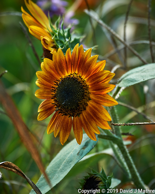 Sunflower. Image taken with a Nikon D5 camera and 80-400 mm VRII lens (ISO 400, 400 mm, f/5.6, 1/800 sec). (DAVID J MATHRE)