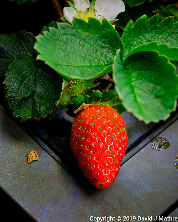 Indoor Hydroponic Strawberry. Image taken with a Fuji X-T3 camera and 80 mm f/2.8 macro lens (ISO 800, 80 mm, f/11, 1/125 sec). (DAVID J MATHRE)