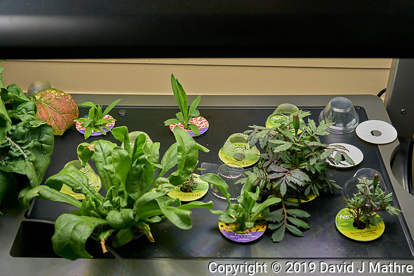 Farm 08 Right (33 days). Edible Flowers (AeroGarden). R01, R02 Dianthus; R03, R05 Purple Snapdragon; R04, R06, R07, R08 Snapdragon; R09, R12 Durango Marigold; R11 Calendula. Image taken with a Leica TL-2 camera and 35 mm f/1.4 lens (ISO 160, 35 mm, f/8, 1/80 sec). (DAVID J MATHRE)