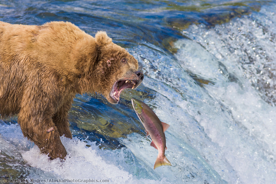 Brown bear attempts to grab a red salmon as it jumps the Brooks river falls, Katmai National Park, Alaska (Patrick J. Endres / AlaskaPhotoGraphics.com)
