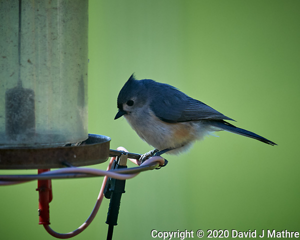 Tufted Titmouse. Image taken with a Nikon D5 camera and 600 mm f/4 VR lens (ISO 900, 600 mm, f/5.6, 1/1250 sec) (DAVID J MATHRE)