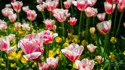 Tulips at Claude Monet house and gardens, Giverny, France (© Russ Bishop/www.russbishop.com)