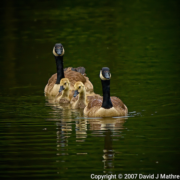 Two + Two Synchronized Swim. Two Canadian Geese + Two Goslings. Sourland Mountain Preserve in New Jersey. Image taken with a Nikon D2xs and 80-400 mm VR lens (ISO 160, 280 mm, f/4, 1/250 sec). . (David J Mathre)