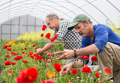Michael Crane, left, and Mark Cane harvest flowers at Dripping Springs Gardens on Monday, April 21, 2014, in Northwest Arkansas. Photo by Beth Hall (Beth Hall)