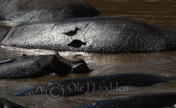 Common Sandpiper (Actitis hypoleucos) Hippopotakus (Hippopotakus amphibius) in Masai Mara, Kenya (Ole Jørgen Liodden)