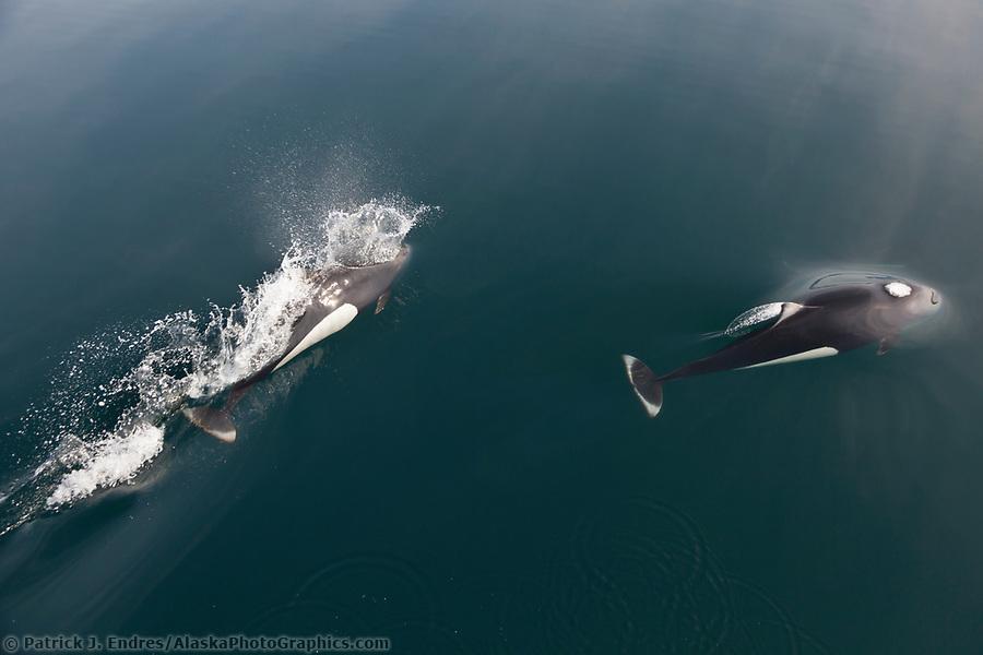 Dall's Porpoise, Prince William Sound, southcentral, Alaska (Patrick J. Endres / AlaskaPhotoGraphics.com)