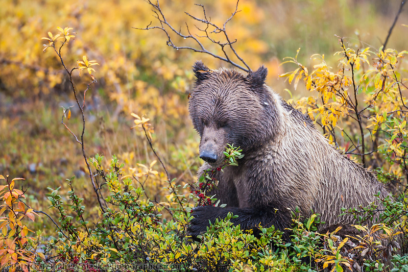 Grizzly bear feeds on ripe, red, soapberries on the autumn tundra in Denali National Park. Ⓒ Patrick J. Endres / AlaskaPhotoGraphics.com