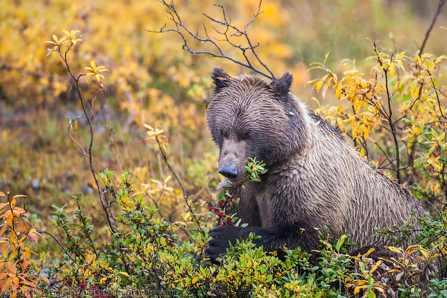 Grizzly bear photos: Grizzly bear feeds on ripe, red, soapberries on the autumn tundra in Denali National Park. Ⓒ Patrick J. Endres / AlaskaPhotoGraphics.com