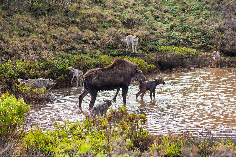 Moose photos:Cow moose defends her newly born calf from the Grant Creek wolf pack who attack them in a small tundra pond, Denali National Park. In the end, the wolves got the baby moose. (Patrick J Endres / AlaskaPhotoGraphics.com)