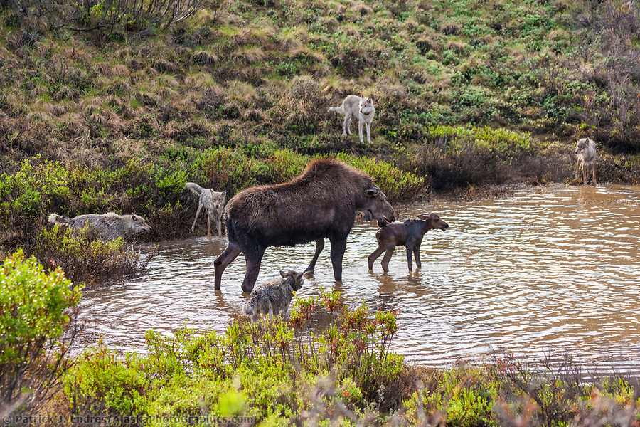 Cow moose defends her newly born calf from the Grant Creek wolf pack who attack them in a small tundra pond, Denali National Park. In the end, the wolves got the baby moose. (Patrick J Endres / AlaskaPhotoGraphics.com)
