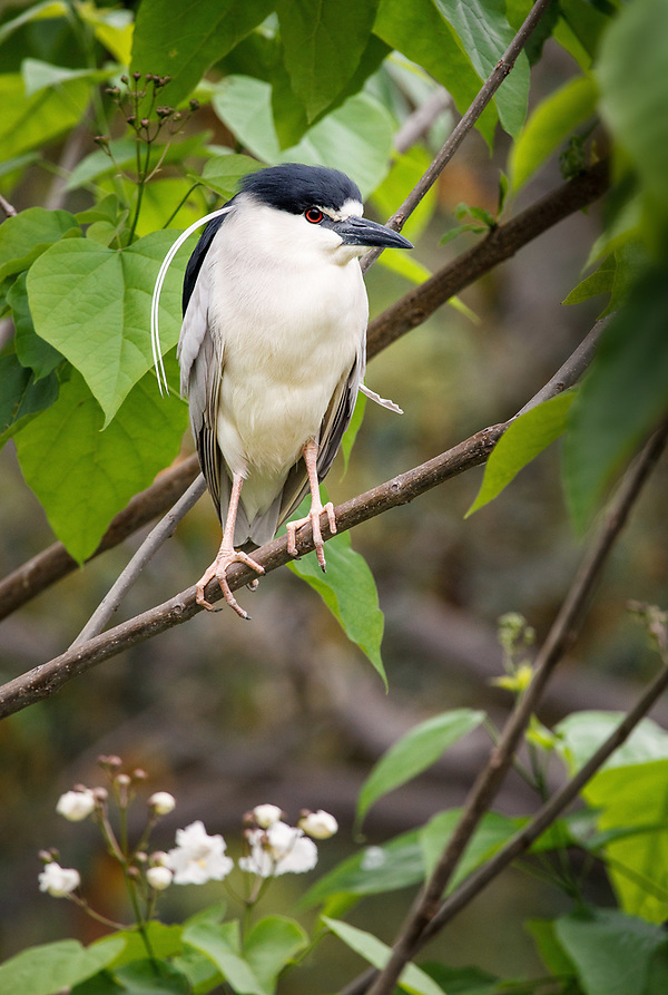 Black-Crowned night heron at the San Diego Safari Park (a park freeloader) (Doug Oglesby)