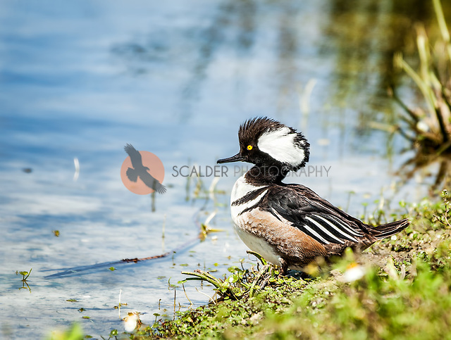 Male Hooded Merganser standing on shore with crest raised, displaying (sandra calderbank)