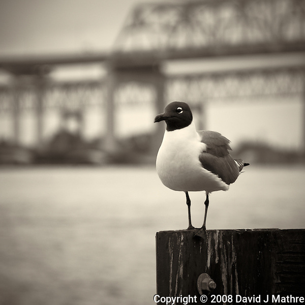 Seagull along Mississippi River in New Orleans, Louisiana. Image taken with a Nikon D300 and 18-200 mm lens (ISO 200, 170 mm, f/5.6, 1/400 sec). Processed with Capture One Pro (including conversion to B&W). (David J Mathre)