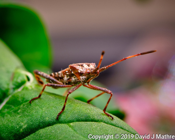 Western Conifer Seed Bug on an Arugula leaf. Image taken with a Fuji X-T3 camera and 80 mm f/2.8 macro lens (ISO 160, 80 mm, f/11, 1/60 sec). (DAVID J MATHRE)