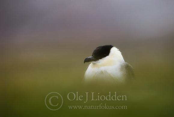 Long-tailed Jaeger (Stercorarius longicaudus) on Svalbard (Ole Jørgen Liodden)