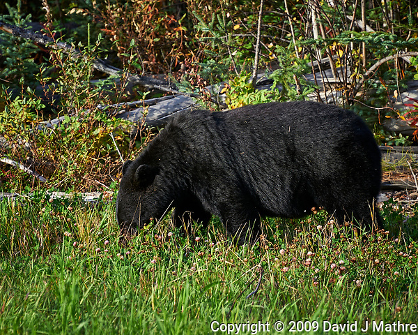 Mother Black Bear alongside the Alaska-Canada Highway. Image taken with a Nikon D700 camera and 70-300 mm f/4 lens (ISO 200, 300 mm, f/7, 1/200 sec). (David J Mathre)