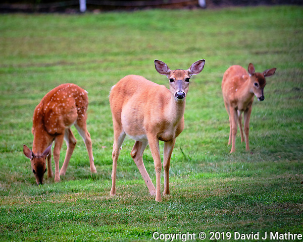 Early morning Doe and two Fawns. Image taken with a Fuji X-T3 camera and 200 mm f/2 OIS lens (ISO 640, 200 mm, f/2, 1/300 sec). (DAVID J MATHRE)