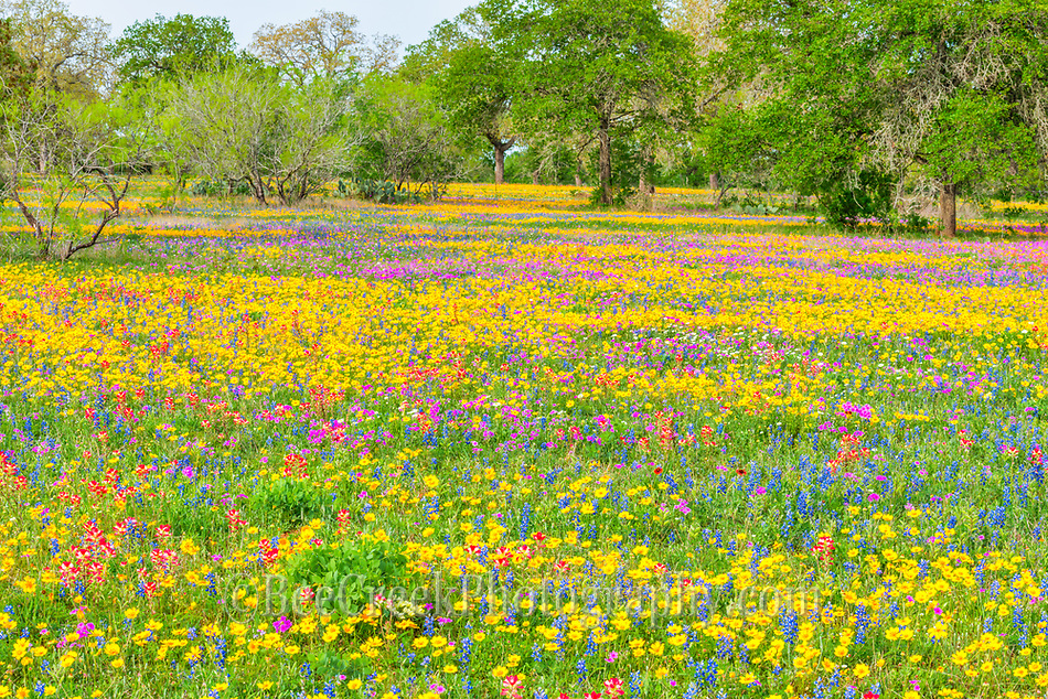 Field of Wildflowers D82 8909 Photos from Texas   field of Wild flowers