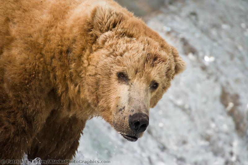 Brown bear boar, Katmai National park, southwest, Alaska. Ⓒ Patrick J. Endres / AlaskaPhotoGraphics.com