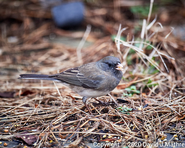 Junco. Image taken with a Nikon D5 camera and 600 mm f/4 VR lens (ISO 1600, 600 mm, f/4, 1/200 sec). (DAVID J MATHRE)