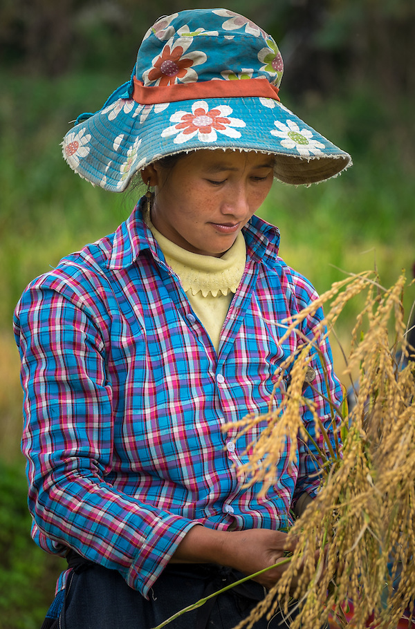 BAC HA, VIETNAM - CIRCA SEPTEMBER 2014:  Young woman harvesting rice in Vietnam. (Daniel Korzeniewski)