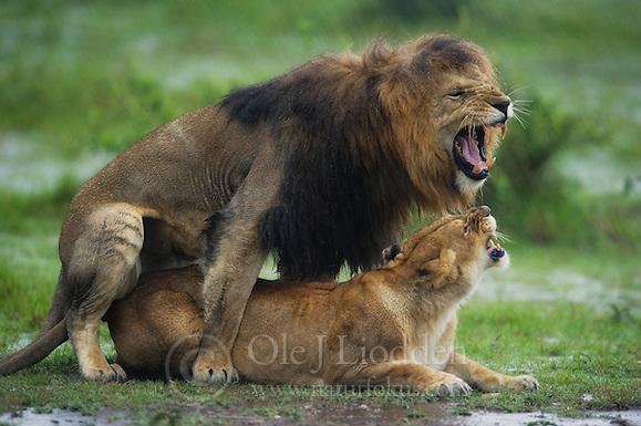 Wet Lion (Panthera leo) in Masai Mara, Kenya (Ole Jørgen Liodden)