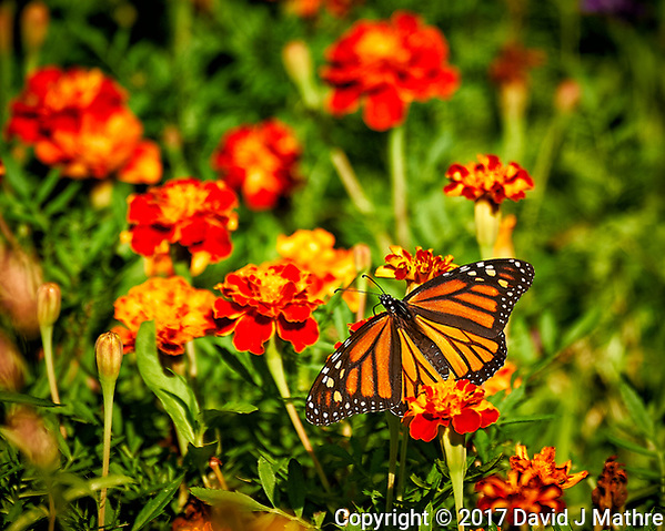 Monarch Butterfly on a Marigold flower. Backyard summer nature in New Jersey. Image taken with a Nikon D4 camera and 80-400 mm VRII telephoto zoom lens (ISO 140, 400 mm, f/5.6, 1/400 sec). (David J Mathre)