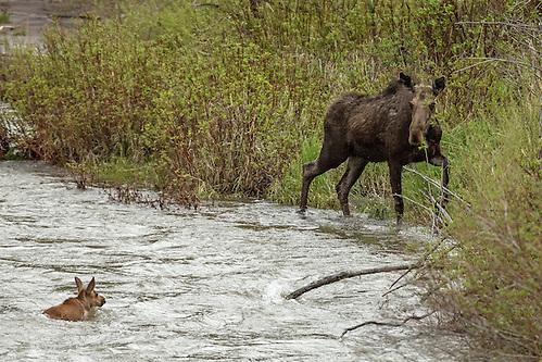 After numerous attempts and some near fatal accidents, the moose calf approaches within feet of the shore, but is unable to swim the entire distance.  His nervous mother looks on from the mainland. (Sandy Sisti)