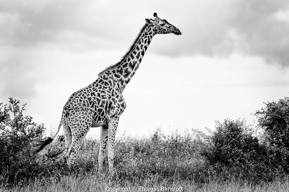 The pattern of dark and light on a giraffe is as unique as a human finger print. It allows giraffies to be individually identified. (Thomas Bancroft)