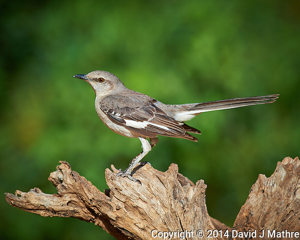 Mockingbird at Campos Viejos Ranch in Southern Texas. Image taken with a Nikon D4 camera and 600 mm f/4 VR lens (ISO 280, 600 mm, f/5.6, 1/1000 sec). (David J Mathre)